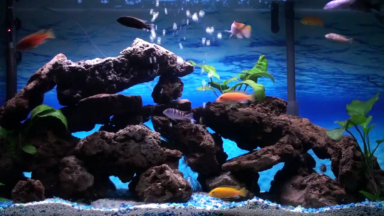 What To Consider When Picking Out A Cichlid Aquarium