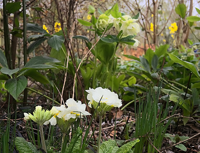 Low view of white polyanthus with pale green hellebores and daffodils in the background