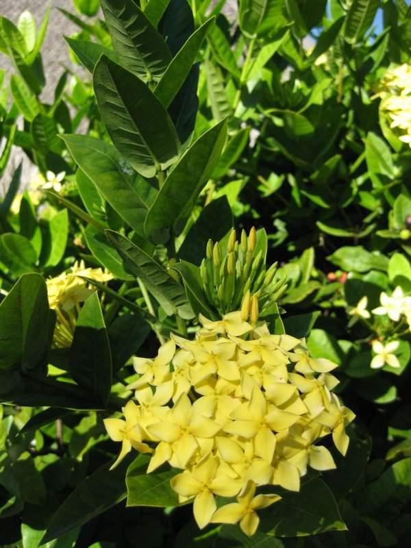 Bunga Asoka Pengusir Sedih Kebunpedia