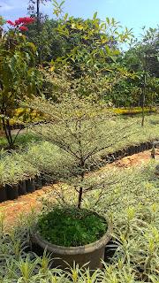 Jual pohon Ketapang kencana varigata , Ketapang kencana daun putih , harga pohon ketapang, pohon pelindung, tanaman hias, tanaman perdu, pohon peneduh, tukang taman minimalis berpengalaman dan bergaransi