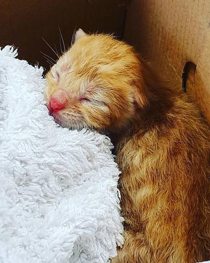 tiny ginger kitten in a cardboard box