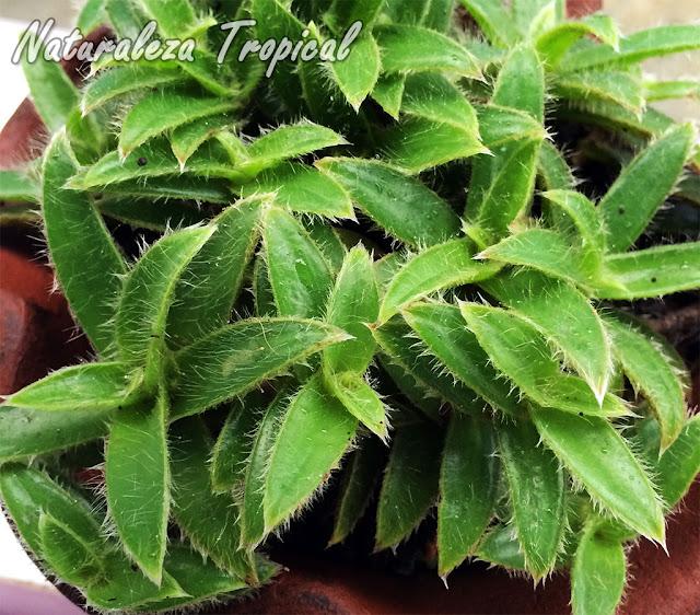 Detalles de las hojas de la planta Cyanotis somaliensis