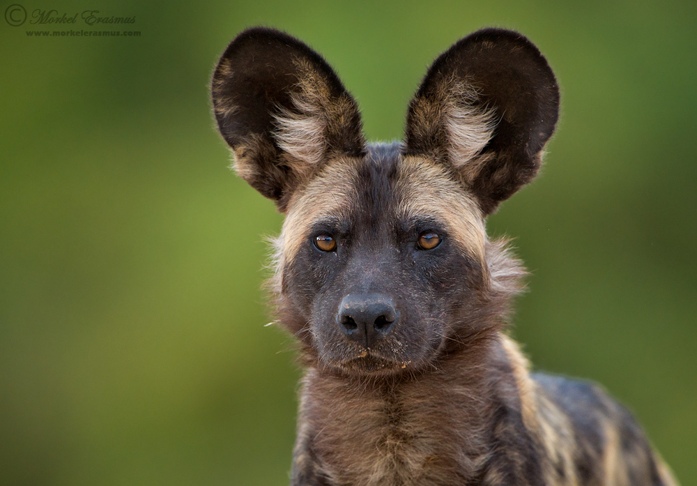 The Dogs of Mana Pools