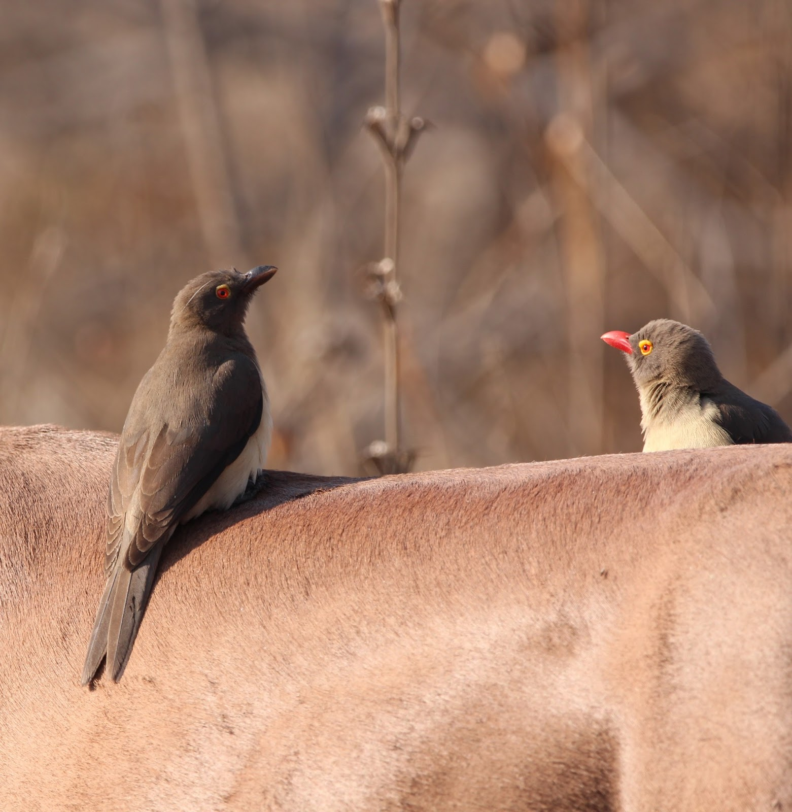 Oxpecker birds removing ticks from an animal.