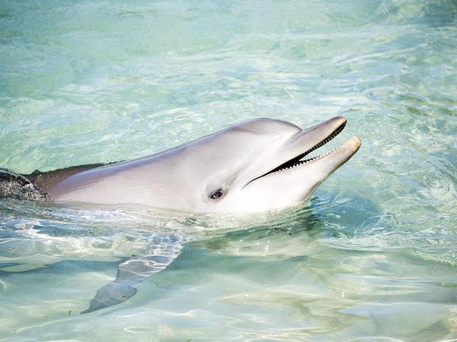 Dolphin clitoris study suggests marine mammals may experience sexual pleasure