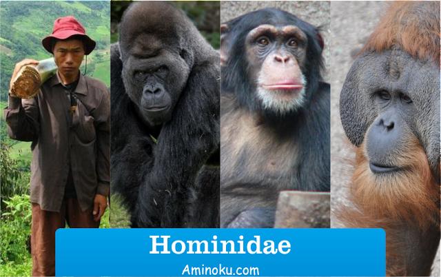 Hominidae