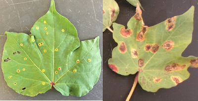 A composite photo of cotton leaves infected with rust. The photo on the left shows and early infection with small spots and the photo on the right shows a older infection with large dark brown spots.