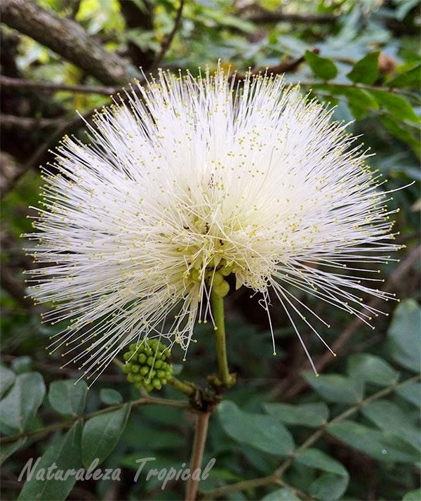 Naturaleza tropical la flor de la caliandra calliandra for Planta ornamental blanca nieves