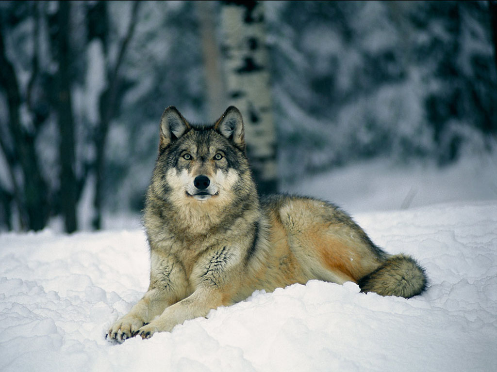 wolf in winter wallpapers hd car wallpapers. Black Bedroom Furniture Sets. Home Design Ideas