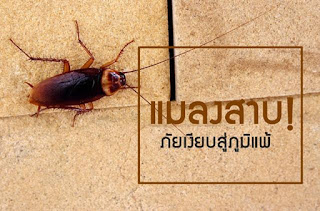 แมลงสาบ! ภัยเงียบสู่ภูมิแพ้