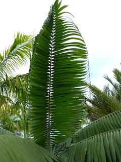 Dictyosperma album var. conjugatum - Palmiste blanc nain