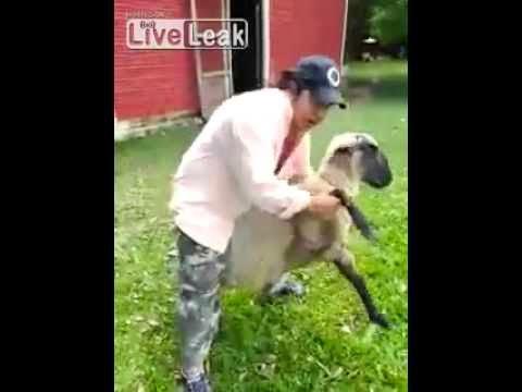 Η εκδίκηση του προβάτου σε μεθυσμένο άντρα! (βίντεο)