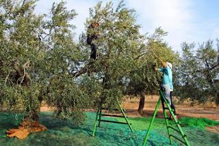 Διημερίδα στη Σαμοθράκη με θέμα την καλλιέργεια της ελιάς