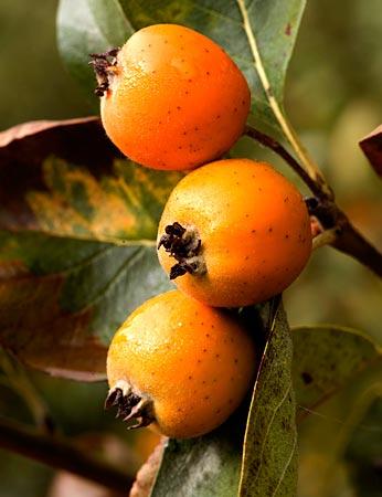 el mangostán es bueno para la disfunción eréctil
