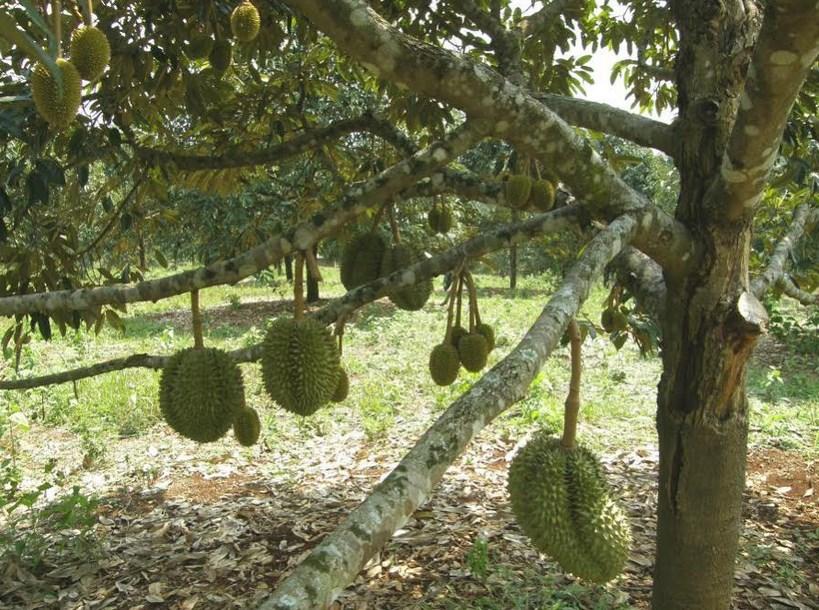 Subur pupuk dan buah lebat Cara Mudah menanam Pohon Durian Montong Agar Cepat Berbuah