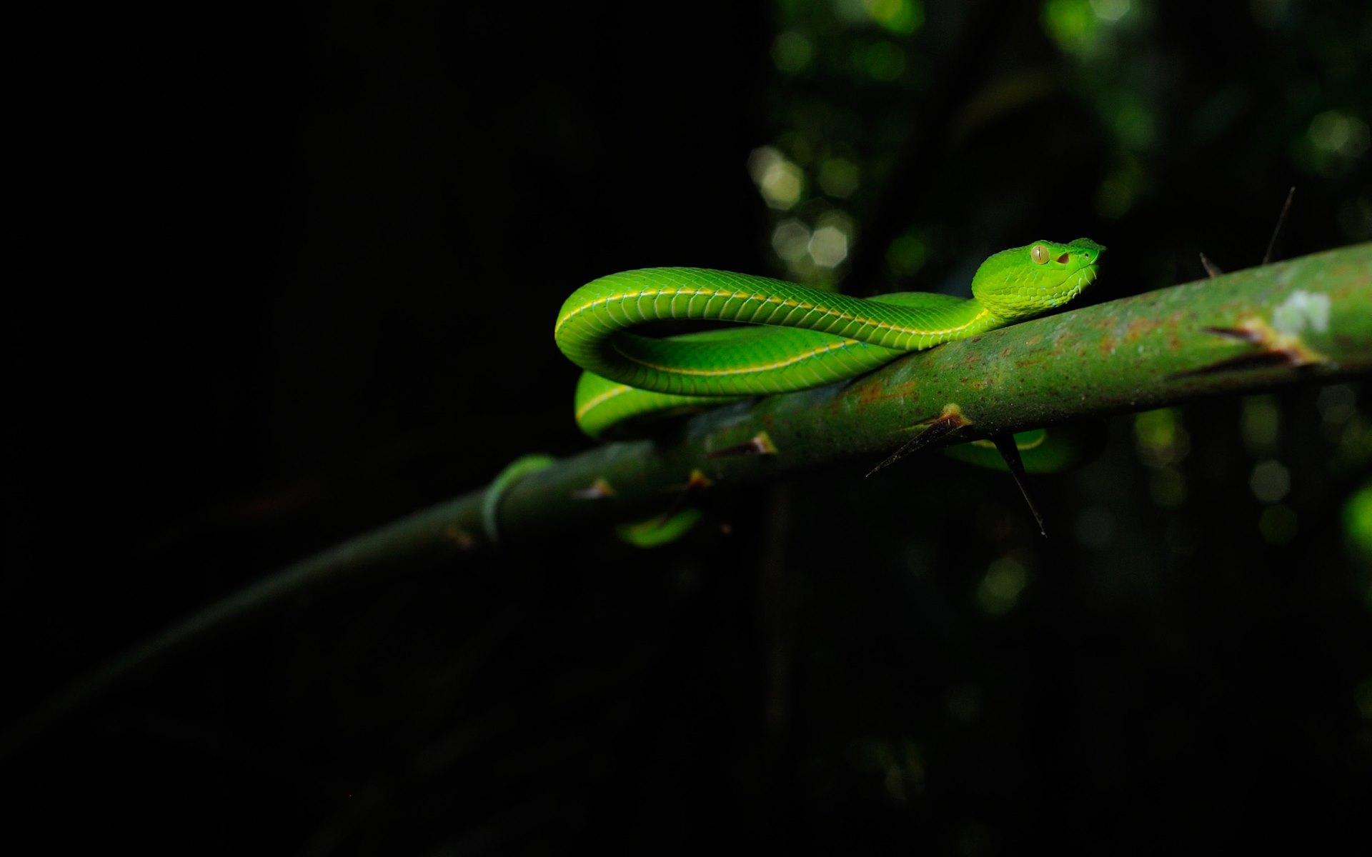 Pit viper snake wallpaper - photo#4