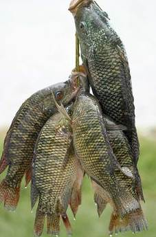 Umpan Ikan Mujair Babon : umpan, mujair, babon, Resep, Umpan, Mujair, Paling, Ampuh, Harga, Pancing, Terlengkap