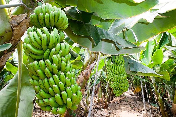 El pl tano cavendish y el mal de panam guia de jardin for Banano de jardin