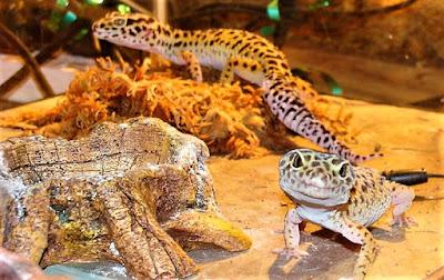 terrario gecko leopardo
