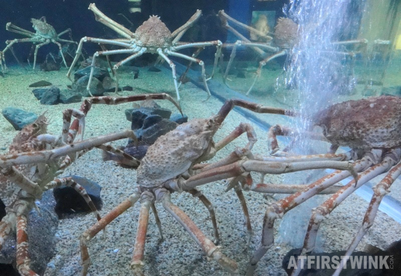 Osaka Aquarium Kaiyukan giant spider crabs