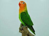 Lovebird Ngekek Pendek