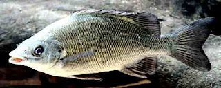 New grunter species kimberley