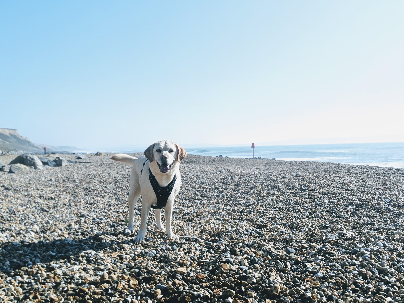 Scully the Labrador on Barton beach