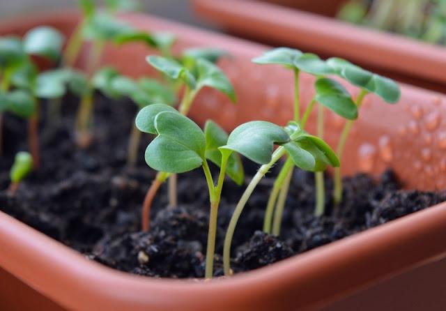 bibit-sayuran