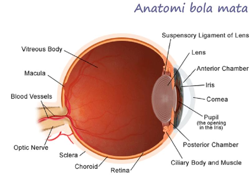 Anatomi, Refleks Cahaya & Fisiologi Neurovisual Mata