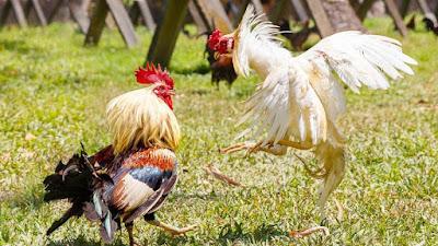 Olahraga Sabung Ayam