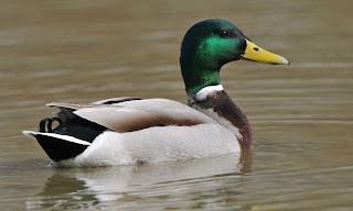 Mallard Duck HD Wallpapers