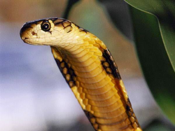 cobra sperm King