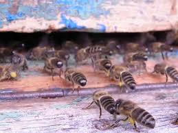abeilles qui ventilent sur la planche d'envol