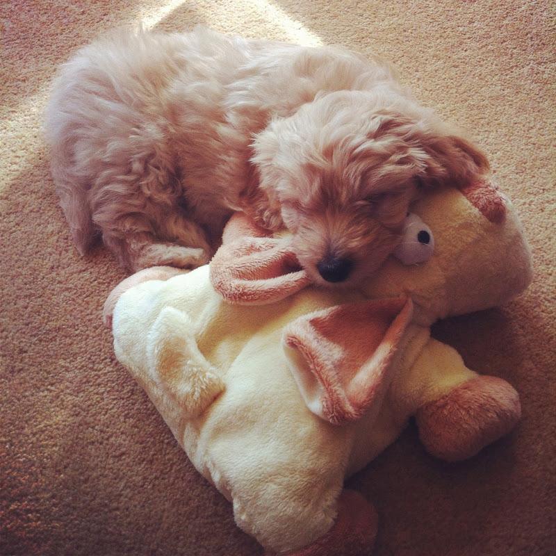 Coackapoo Puppy