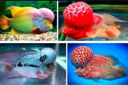 Inilah Jenis Ikan Louhan Termahal dan Tercantik Saat Ini