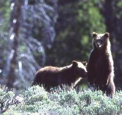 Montana to appeal Yellowstone grizzly decision - looks to broader effort