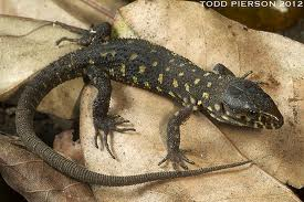Yellow Spotted Lizard Facts