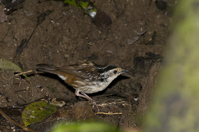 Striped Wren-babbler