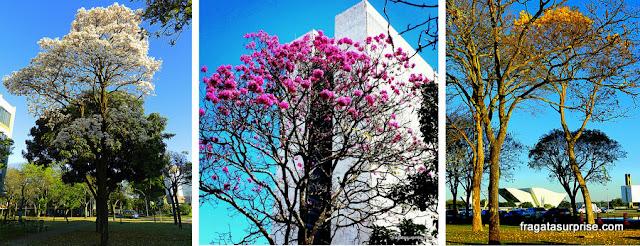 Florada dos ipês, Brasília