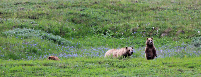 denali national park grizzly bears