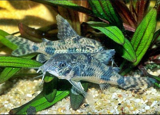 klasifikasi ikan corydoras