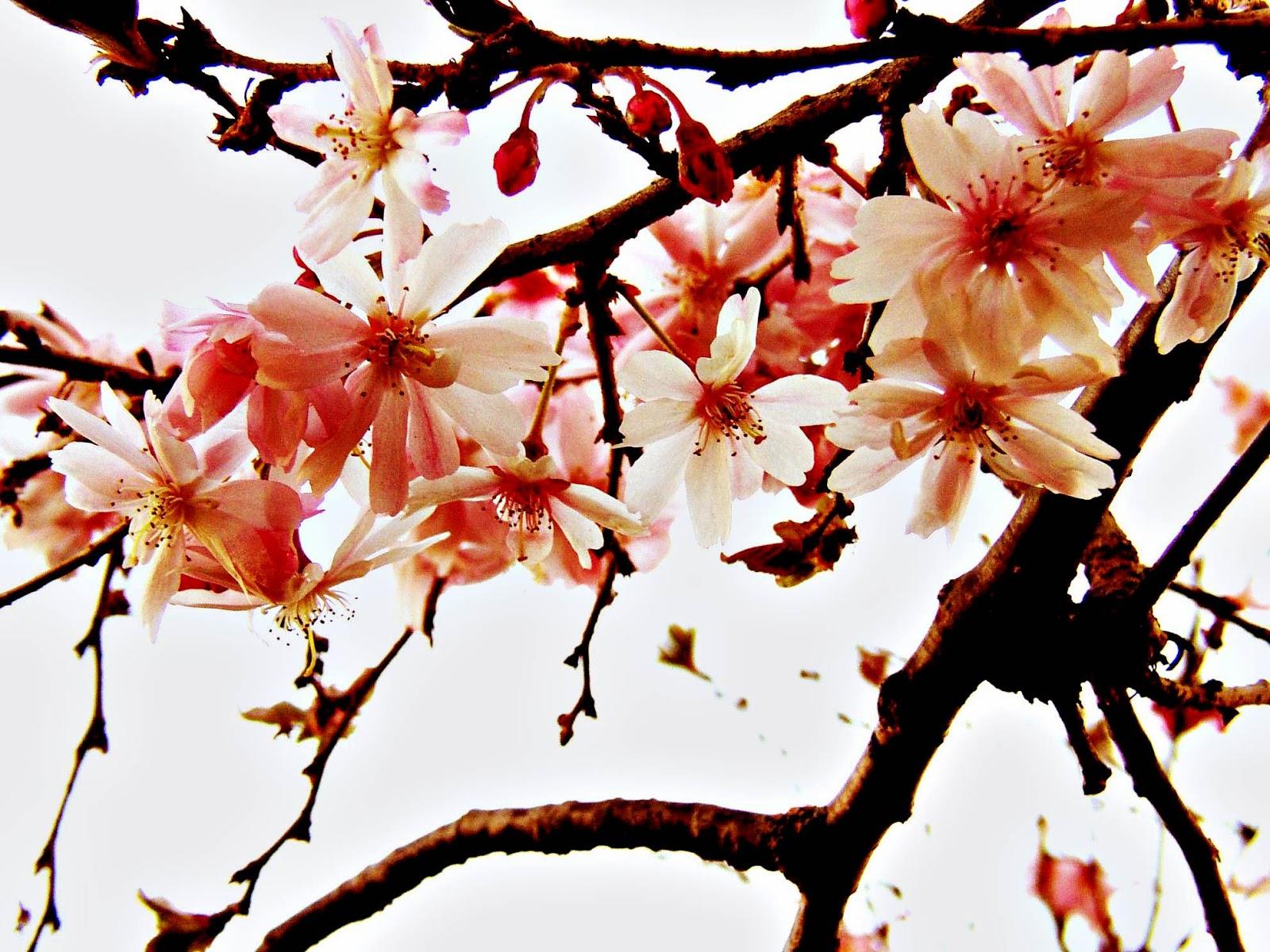 gambar wallpaper bunga sakura jepang cantik caption instagram keren kekinian