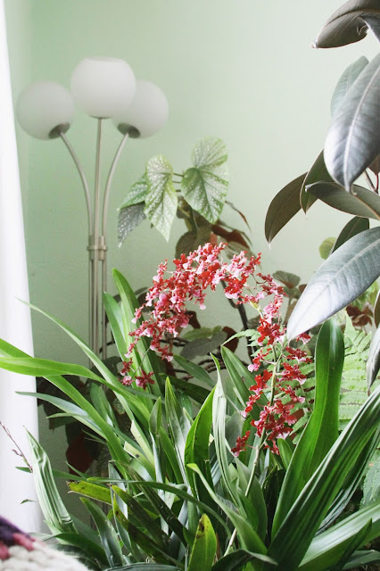 houseplants, orchids, Sharry Baby, Oncidium Orchid, Rubber Plant, Begonia, Anne Butera, My Giant Strawberry