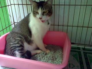 Gambar Kucing Tiduran di Litter Box di Artikel Cara Melatih Kucing Buang Air