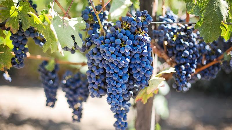 Ripe Grapes in Vineyard 2