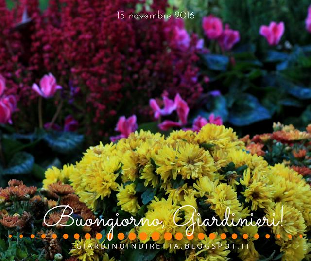 crisantemi (chrysanthenum indicum) - l'agenda del giardino e del giardiniere - un giardino in diretta