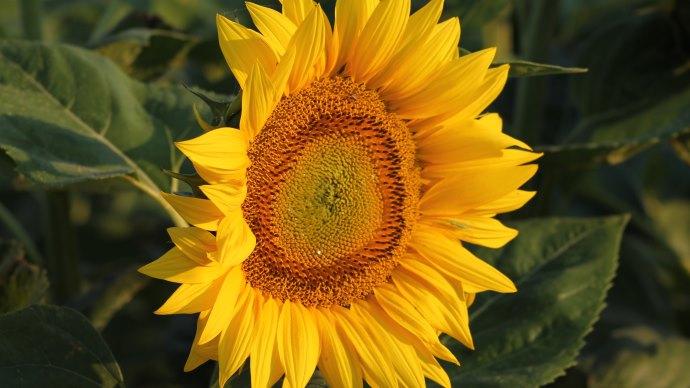 Wallpaper: Summer Flower - Sunflower