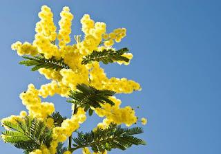 Gambar Bunga Akasia yang Indah 5