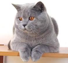 Rasy Kotów Brytyjski Kot Krótkowłosy Wszystko O Kotach