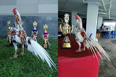 Kontes Ayam Ratu